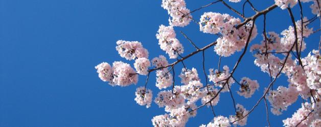 Washington DC for the Cherry Blossom Festival