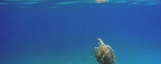 Swimming with Turtles in St Thomas